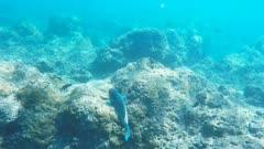 a colorful parrot fish swims above the reef at hanauma bay, hawaii