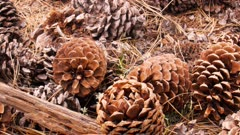 a dolly shot of pine cones on the ground at yosemite national park