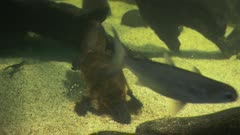 close up of a platypus searching for food