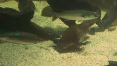 panning shot of an australian platypus feeding