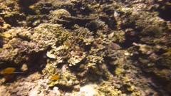 two long nosed butterflyfish and a regal angelfish swim on a coral reef