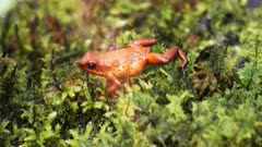 panning shot of a strawberry poison dart frog (Ooehaga pumilio)  walking on moss and eating an insect