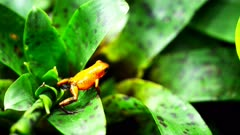 a strawberry poison dart frog (Ooehaga pumilio) on the leaves of a bromeliad plant
