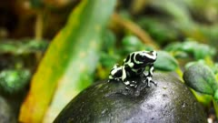 a green and black poison dart frog  ( Dendrobates auratus) sits on a rock