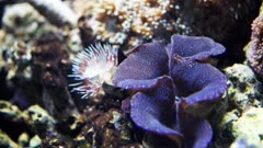 a purple tridacna clam and tube worm