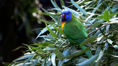 a rainbow lorikeet stands on top of a eucalyptus tree branch