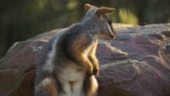 an Australian rock wallaby grooms itself