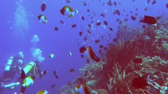 scuba divers swim among a school of pyramid butterflyfish- recorded at 60fps