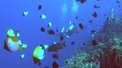 two scuba divers swim among a school of pyramid butterflyfish- recorded at 60fps
