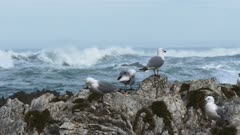 a group of sea gulls at a breeding colony in kaikoura, new zealand