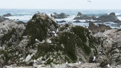 wide shot of sea gulls at a breeding colony in kaikoura, new zealand