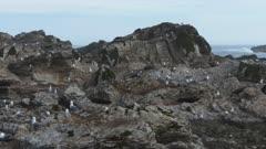 panning shot of sea gulls at a breeding colony in kaikoura, new zealand