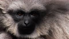 close up of the face of a silvery gibbon