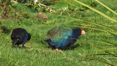 a takahe and its relative the pukeko feed together in new zealand