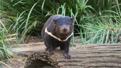a tasmanian devil standing on a log
