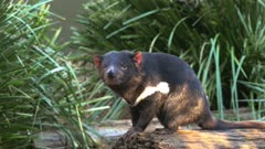 a sunlit tasmanian devil stands on a log and sniffs the air