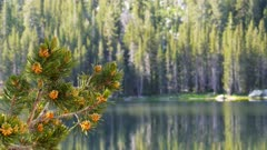 a rack focus shot of a pine tree branch and a pine forest on the shore of lake tenaya, yosemite national park