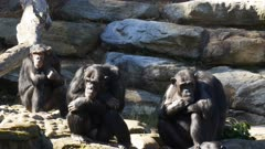 three chimpanzees sit in a group on a rock wall