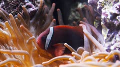 a tomato clownfish (Amphiprion frenatus) swims around its host anemone