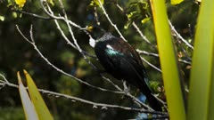 close up of a new zealand tui on the branch of a tree