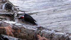 a piliated woodpecker hunts for food in the trunk of a dead tree at mariposa grove, yosemite