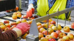 workers remove inferior apples from a conveyor belt in a packing shed in huonville, tasmania