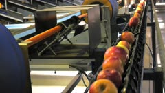 high angle view as a conveyor belt moves apples and sorts them based on size in a packing shed in huonville, tasmania