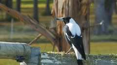 close up of the common australian magpie sitting on an old farm fence in tasmania