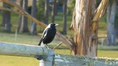 common black and white australian magpie sitting on an old farm fence in tasmania
