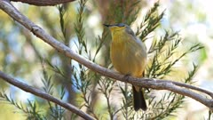 close up of a grey headed honeyeater singing in a tree