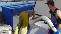 a deckhand unloads a large shark carcass from the hold of a fishing boat in the tasmanian city of hobart