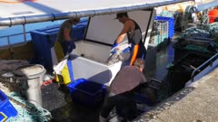 a crew deckhands unload a catch of gummy and sevengill shark from the hold of a fishing boat in the tasmanian city of hobart
