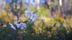 close up of leatherwood flower (Eucryphia lucida), Tasmania, Australia. The honey producing leatherwood is endemic to Tasmania