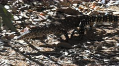 a tracking shot of a perentie lizard walking in the outback of australia