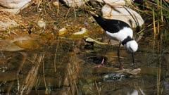 panning shot of a pied stilt feeding in a freshwater pond in australia