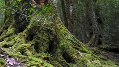 zoom in shot of the base of a large pine tree covered in moss in pine valley lake st clair national park