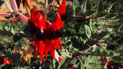 a close up shot of a bright red start's desert pea