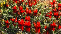 a vertical pan of a clump of bright red start's desert pea flowers