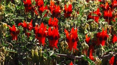 a clump of bright red start's desert pea