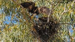 a whistling kite returns to its nest with food