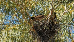 a whistling kite leaves a nest to hunt for food