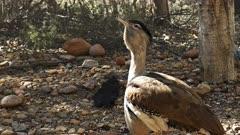 close up of a large australian bustard bird