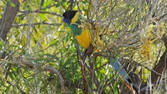 close up of a colorful australian ringneck parrot in a grevillea tree
