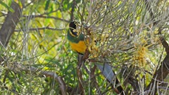 close up of a port lincoln parrot feeding in a grevillea tree