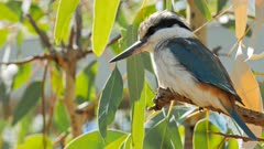 close up of a kookaburra perched in a gum tree