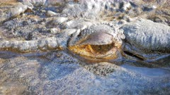 extreme close up of a large saltwater crocodile blinking