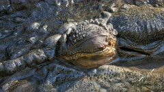 extreme close up of a large saltwater crocodile opening its eye