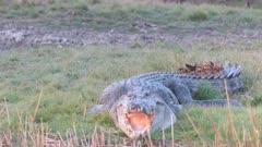 tracking close up of a large saltwater crocodile on the bank at corroboree billabong near kakadu