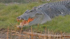slow motion shot of a large saltwater crocodile at corroboree billabong near kakadu- recorded from a tour boat