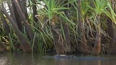 a tracking shot of a swimming saltwater crocodile at corroboree billabong near kakadu
